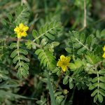 What are Benefits and Side Effects of Tribulus Terrestris