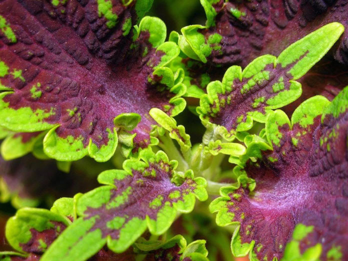 Coleus forskohlii (ingredients of pure forskolin extract 250 mg)