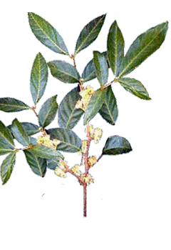 Planta_muira_puama